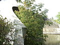 Newmarket Radial Arch tree growing inside.JPG
