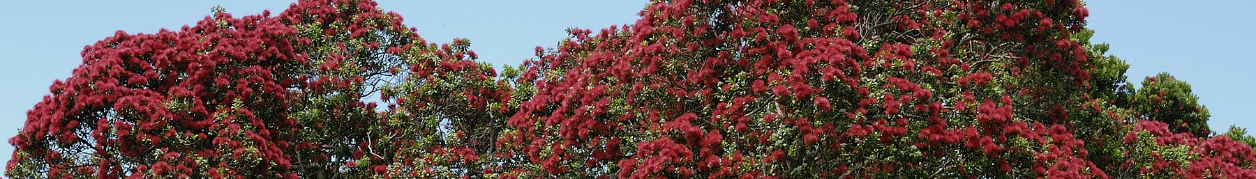 Pohutukawa (Metrosideros excelsa) in flower at Christmas (the southern summer)