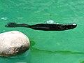 Northern Fur Seal 01.JPG