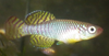 Nothobranchius korthausae male.png