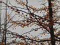 Nov 14 Gingko biloba.jpg