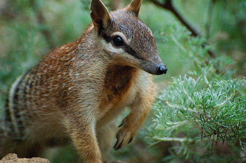 File:Numbat Face.jpg