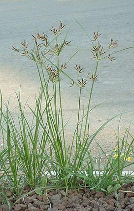 272px-Nutgrass_Cyperus_rotundus02.jpg