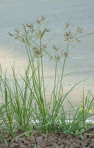 Cyperus rotundus - Image: Nutgrass Cyperus rotundus 02