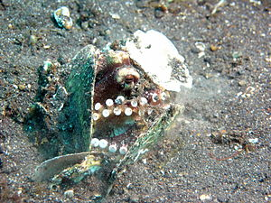Octopus marginatus