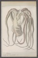 Octopus moschatus - - Print - Iconographia Zoologica - Special Collections University of Amsterdam - UBAINV0274 090 02 0002.tif