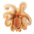 Octopus salutii Merculiano.jpg