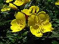 Oenothera fruticosa 01.JPG