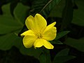 Oenothera odorata 1.jpg