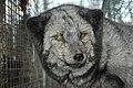 Oikeutta eläimille - Fur farming in Finland 09.jpg
