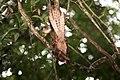 Oilbird (Steatornis caripensis) (4090207188).jpg