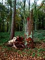 Old Tree, Frithsden Woods - geograph.org.uk - 137018.jpg