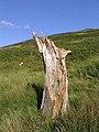 Old tree stump in Glenbeg Sike - geograph.org.uk - 564782.jpg