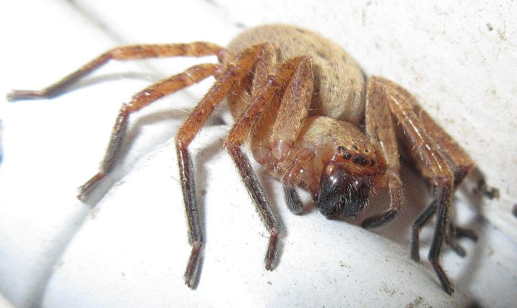Female specimen, sparassidae
