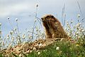 Olympic Champion - The Olympic Marmot (14775309917).jpg