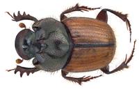 Onthophagus quadricuspis d`Orbigny, 1908 male (10362414624).png