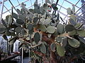 Opuntia ficus-indica 01.jpg