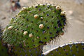 Opuntia galapageia var. galapageia, Santiago 2010 10 04 1873 (5192163099).jpg