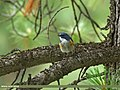 Orange-flanked Bush Robin (Tarsiger cyanurus) (29957012234).jpg