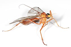 meaning of hymenoptera