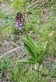 Orchis purpurea in Aveyron (12).jpg