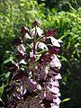 Orchis purpurea sl10.jpg