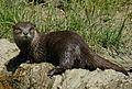 Oriental clawless otter.jpg