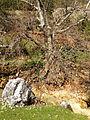 Oriental plane trees, Saimbeyli 04.JPG