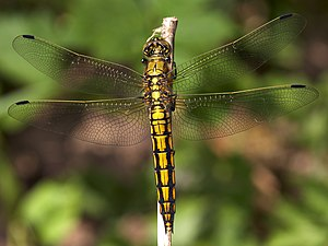 Orthetrum cancellatum top.jpg