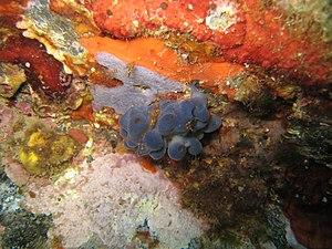 Oscarellidae - Oscarella lobularis (Oscarellidae) and Phorbas tenacior (Hymedesmiidae)