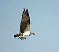 Osprey with catch (8231482804).jpg