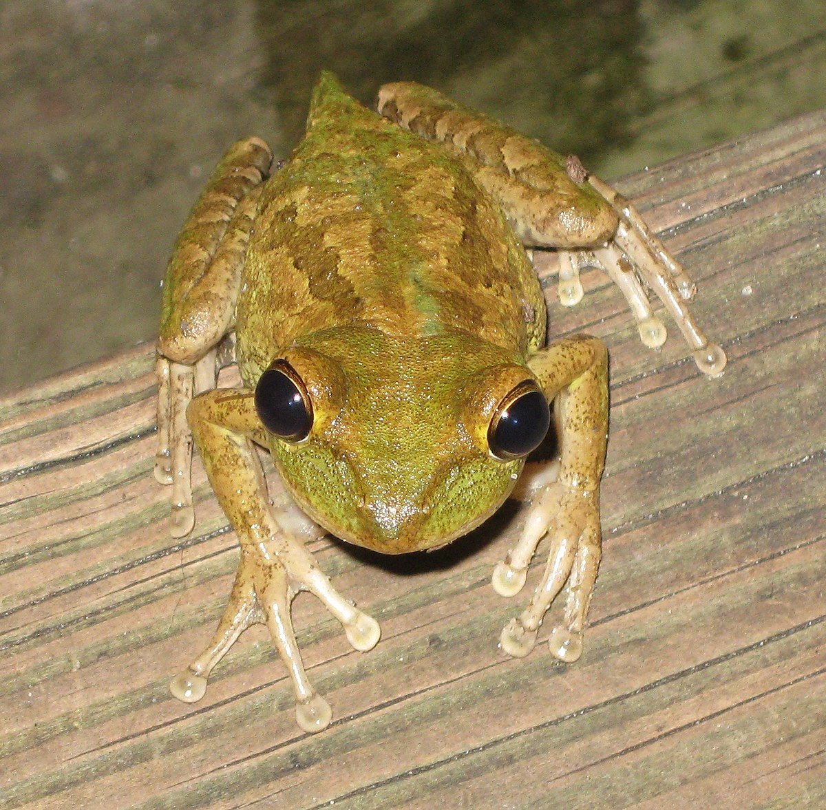 cuban tree frog wikipedia