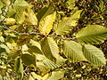 Ostyra carpinifolia BotGardBln1105LeavesFall.JPG