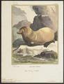 Otaria jubata - 1700-1880 - Print - Iconographia Zoologica - Special Collections University of Amsterdam - UBA01 IZ21100029.tif