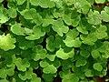 Oxalis acetosella (foliage).jpg
