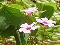 Oxalis articulata rubra1.jpg