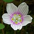 Oxalis montana -- ZoomedInForDYK.jpg