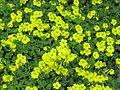 Oxalis pes-caprae habit5 - Flickr - Macleay Grass Man.jpg