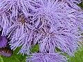 P1000602 Ageratum houstonianum (Blue Mink) (Compositae) Flower.JPG