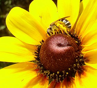Scopa (biology) - Scopa of a Halictid bee; the entire hind leg and abdomen carry pollen