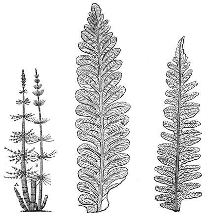 PSM V18 D637 Coal ferns and restoration of a calamite.jpg