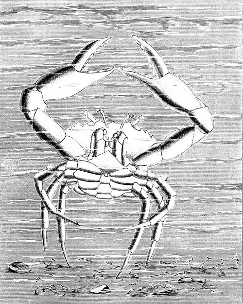 PSM V34 D499 Dance of the lady crab.jpg