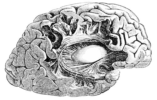 PSM V46 D169 Course of the fibrous processes of the cortex.jpg