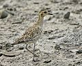 Pacific Golden Plover (Pluvialis fulva) - Flickr - Lip Kee (2).jpg