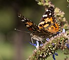 Painted lady (70403).jpg