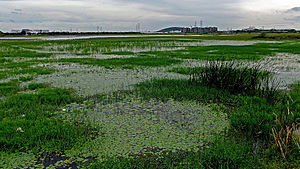 Pallikaranai wetland - The marsh has shrunk to a great extent over the years