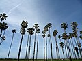Palm Trees in Santa Barbara, California - panoramio.jpg