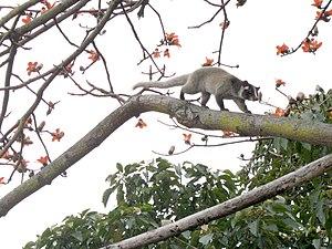 Masked Palm Civet = Himalayan Palm Civet (Pagu...