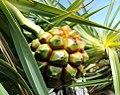 Pandanus heterocarpus fruit Rodrigues 1.jpg