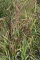 Panicum virgatum Shenandoah 4zz.jpg